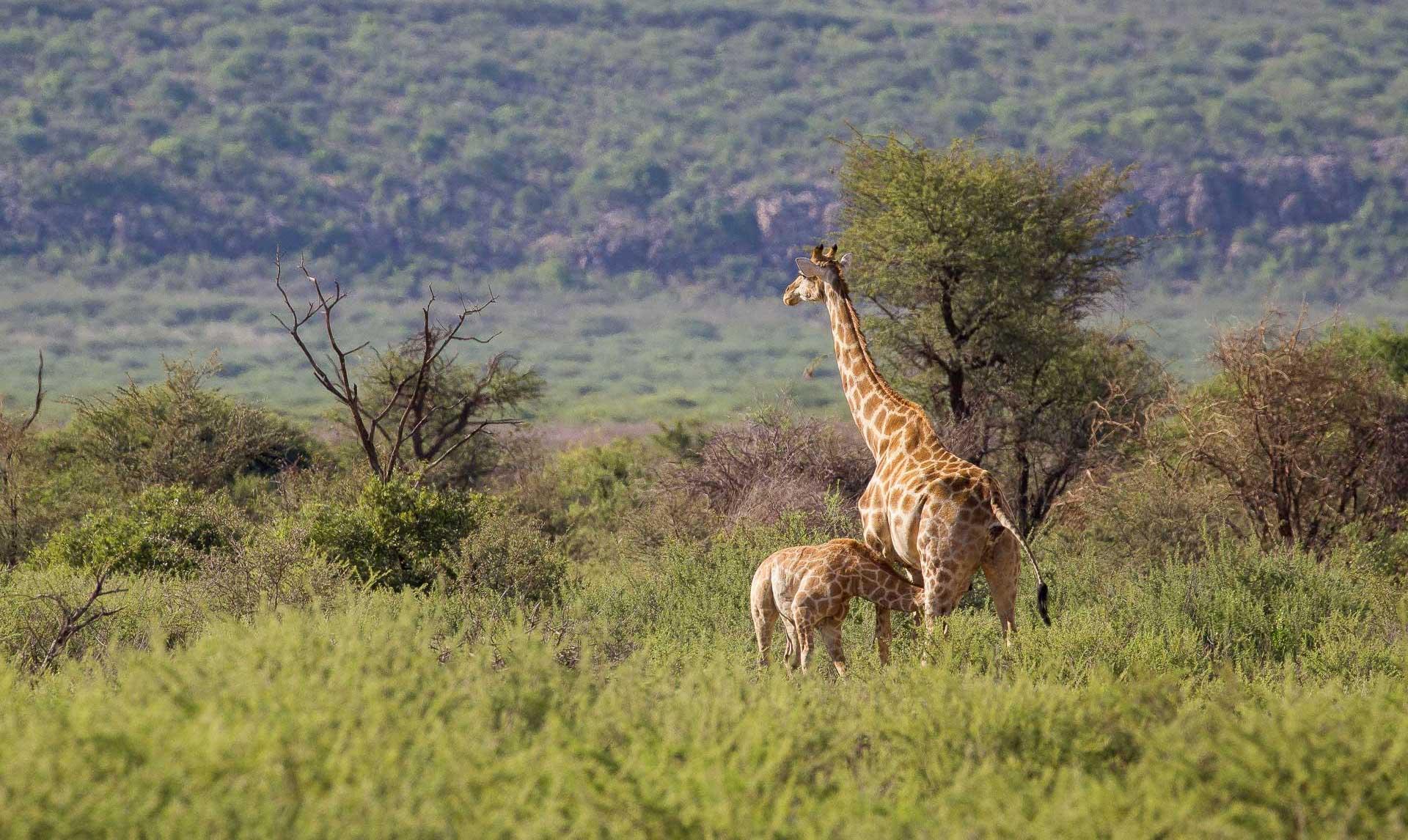 Giraffe (1 von 1)
